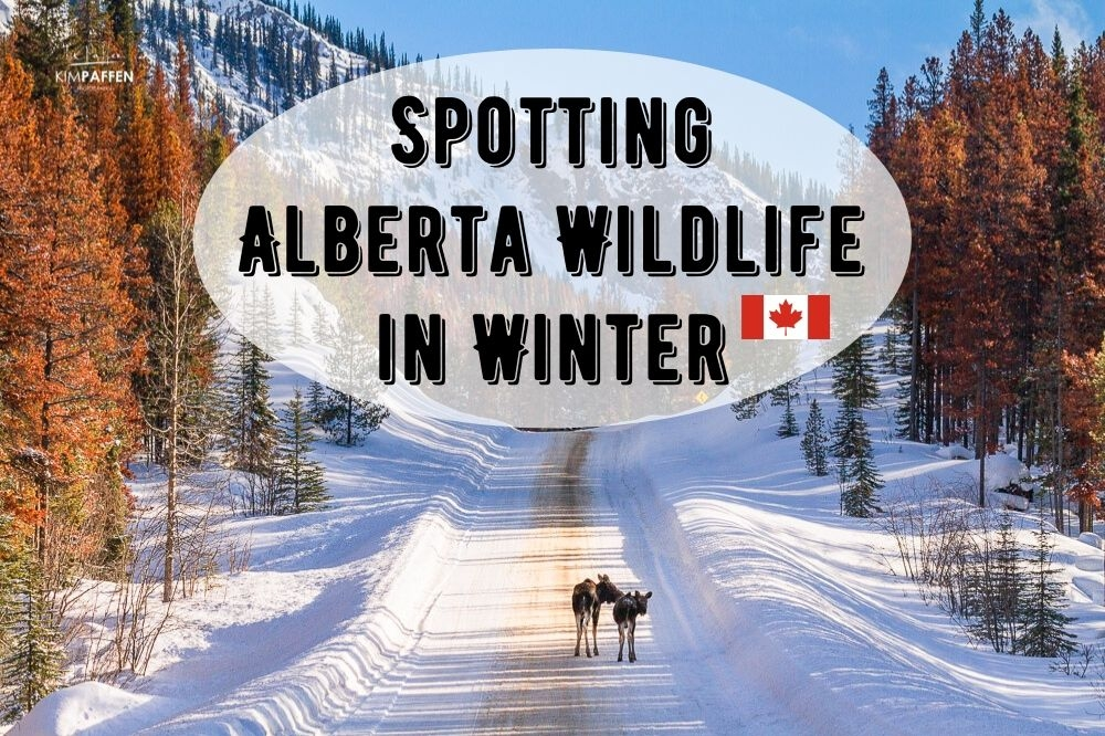 Spotting Wildlife in Alberta in Winter