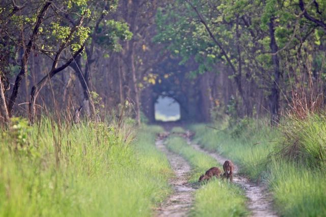 tiger safari in dudhwa national park 1