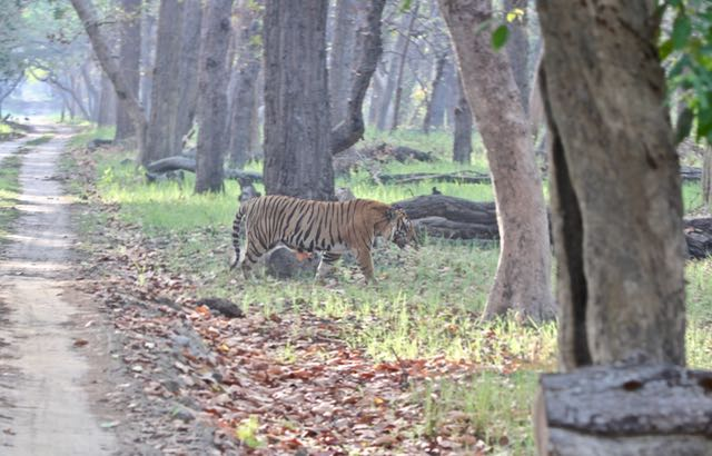 tiger safari in dudhwa national park 3