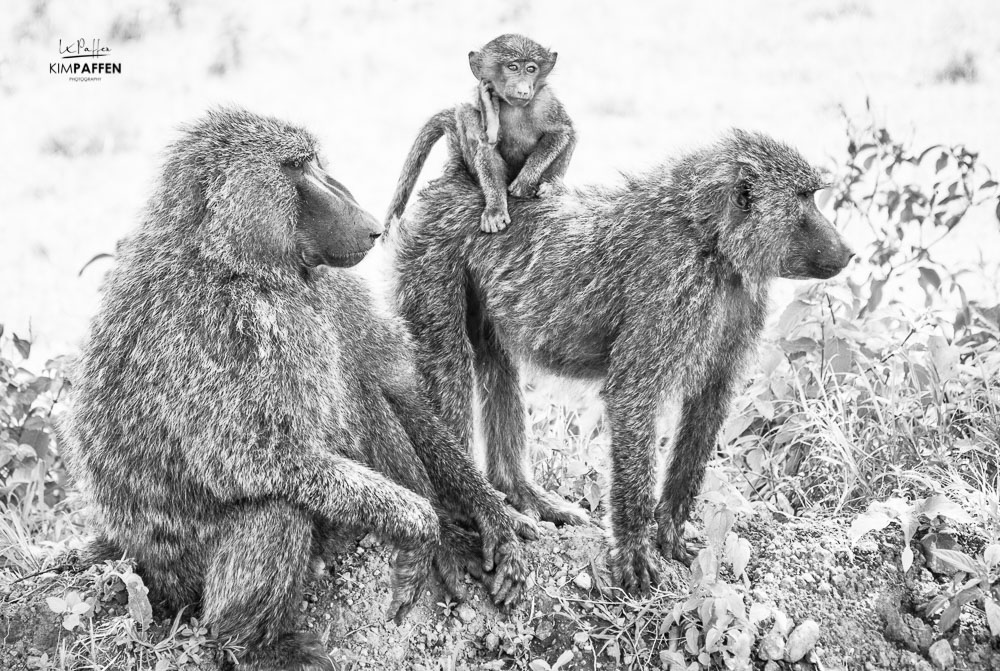 Baboons Lake Nakuru National Park