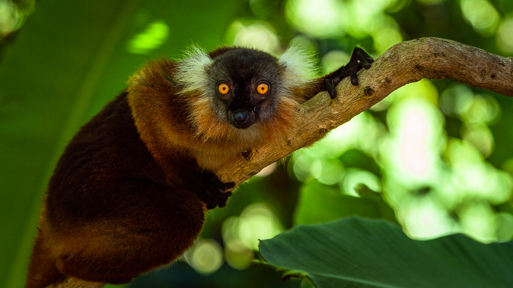 madagascar wildlife black lemur