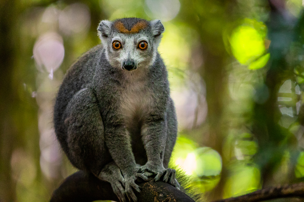 madagascar wildlife crowned lemur female