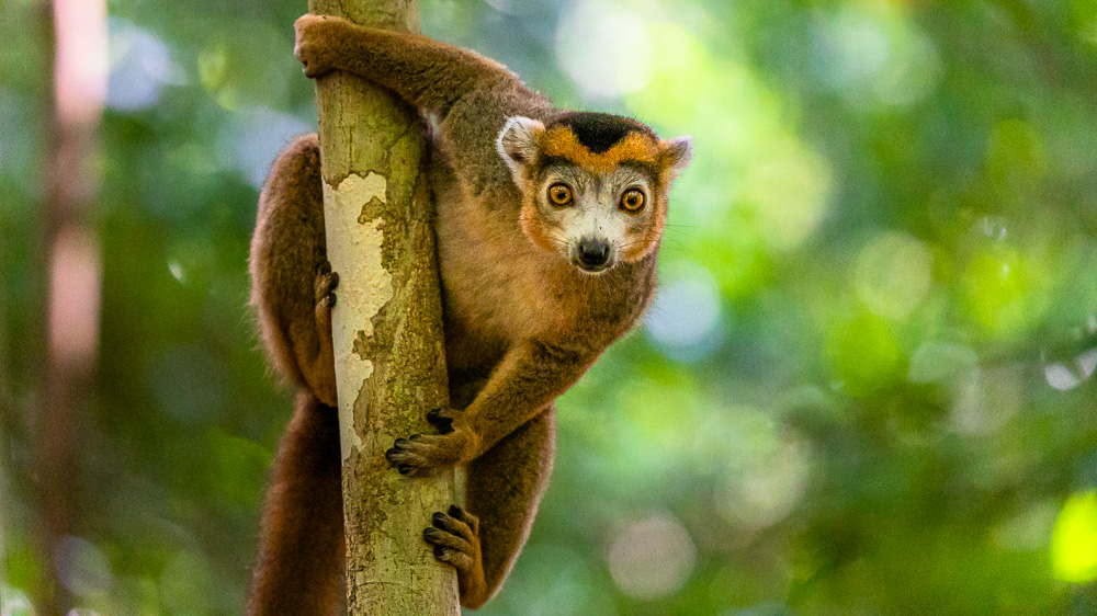 madagascar wildlife crowned lemur male