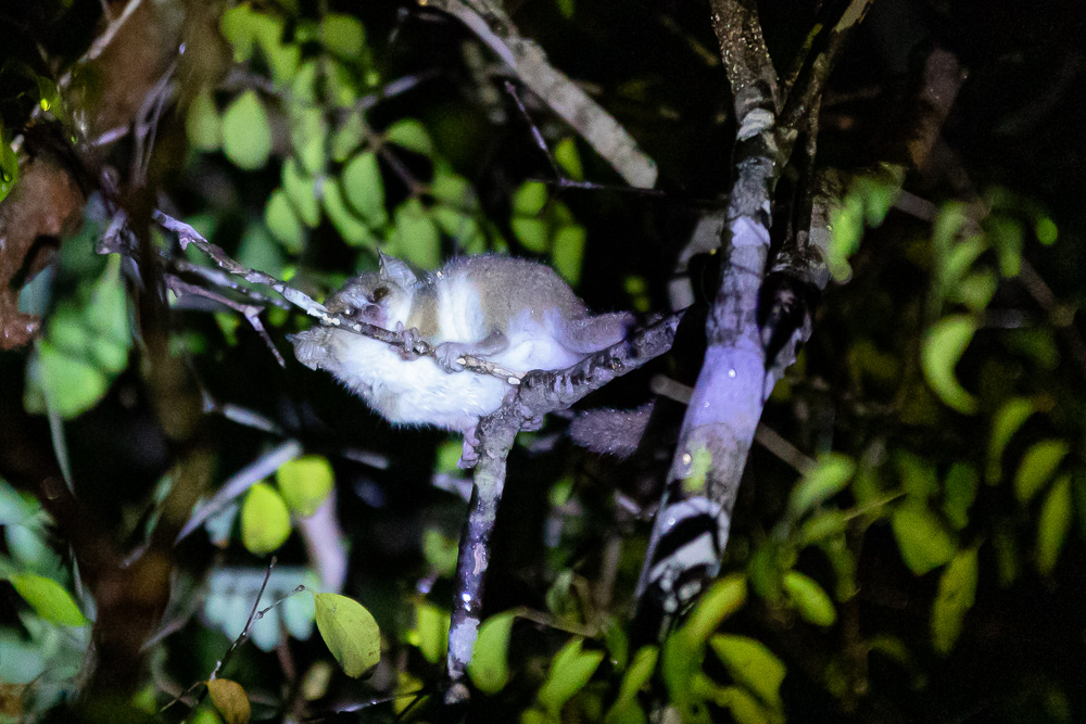Kirindy Forest Mouse Lemur 42