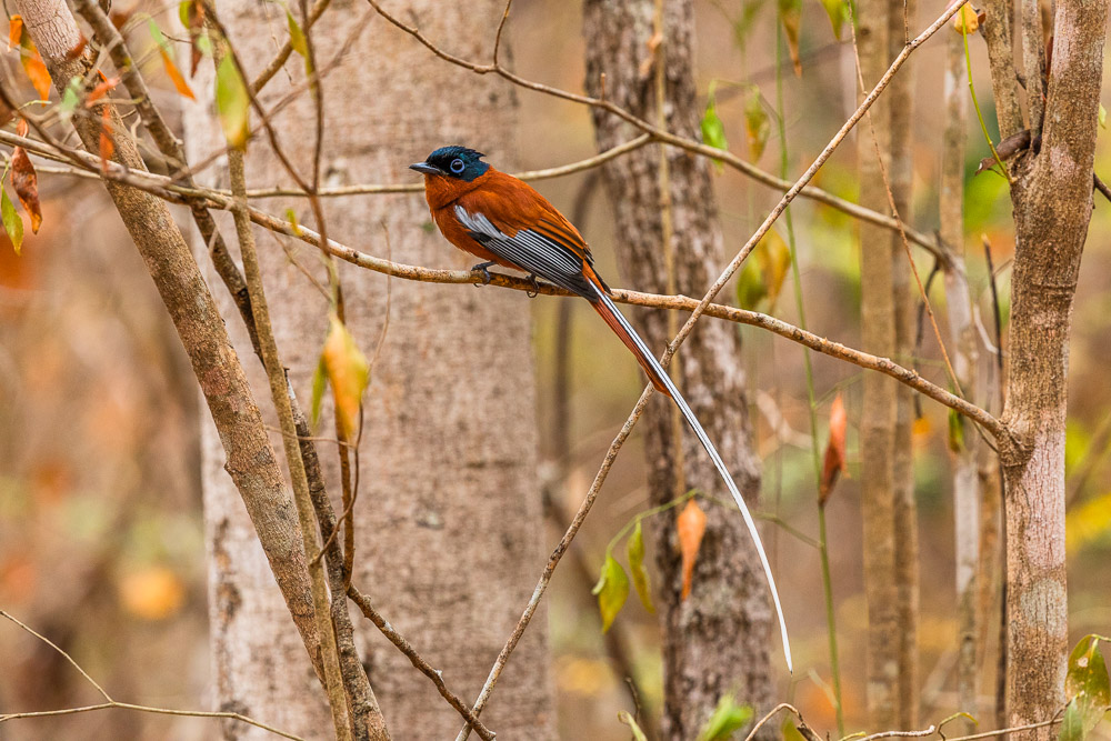 Madagascar birds Kirindy 49