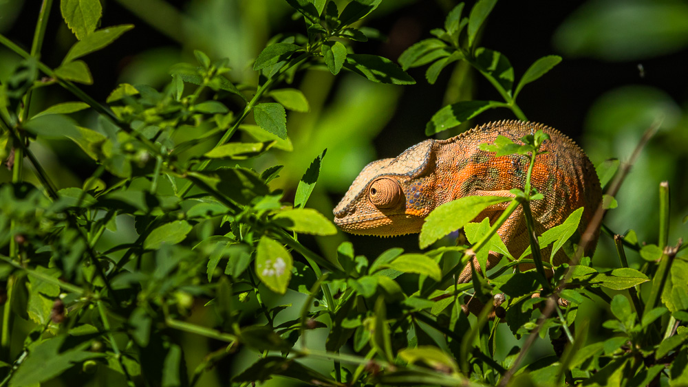 madagascar wildlife colorful female chameleon