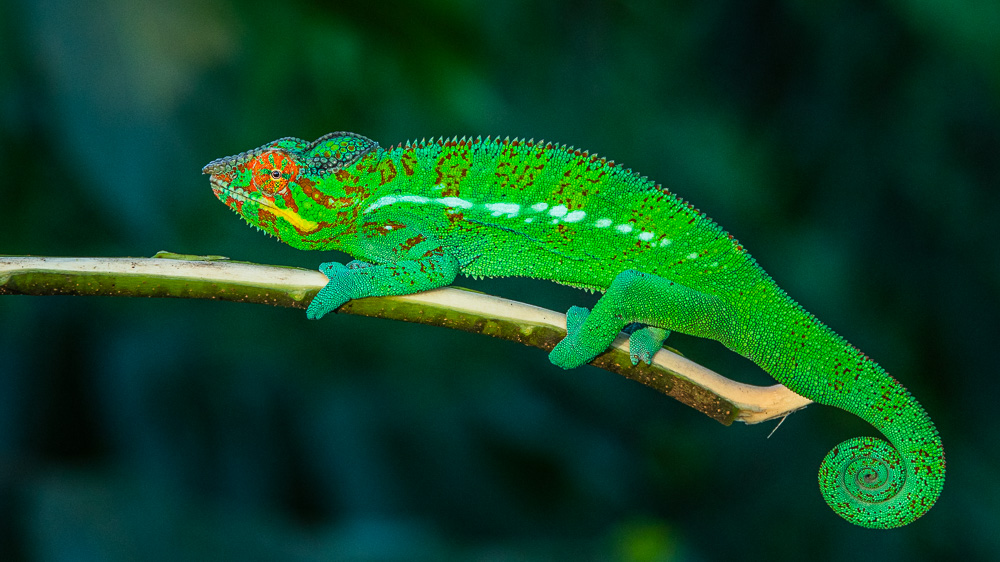 madagascar wildlife colorful male chameleon